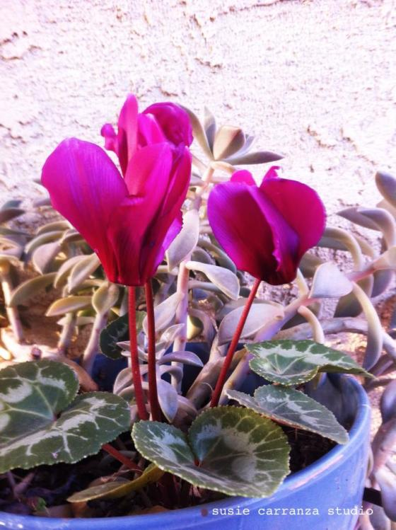 potted fuschia