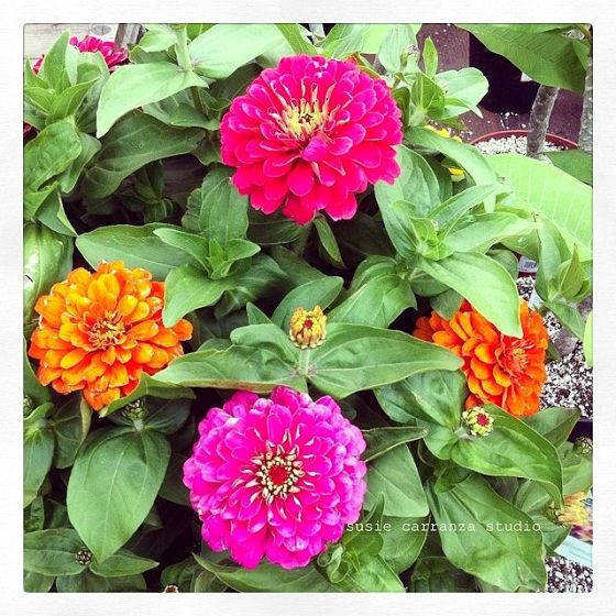 Saturday date night: Home Depot! (love these zinnias!)