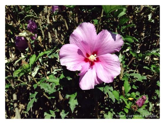 lavender hibiscus in my in laws' garden