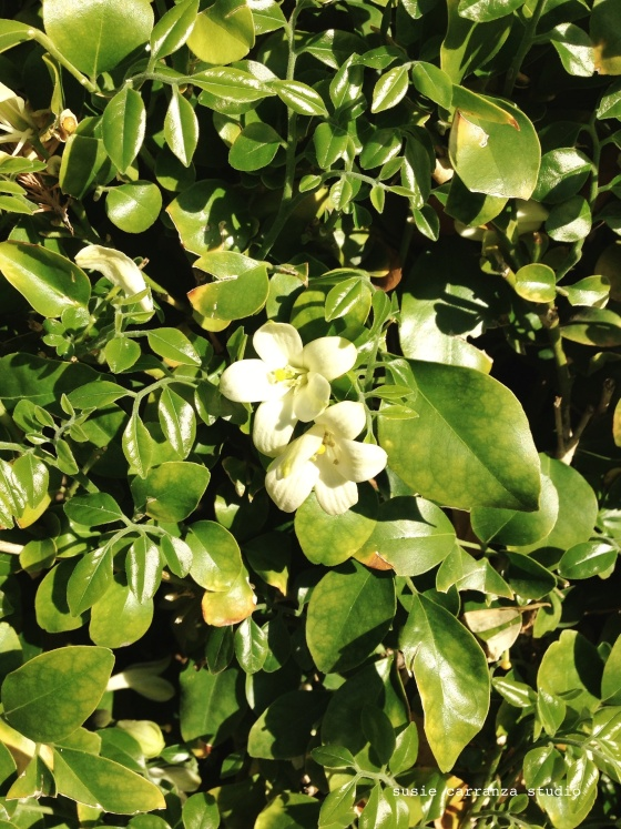 scent of blooming jasmine is here...