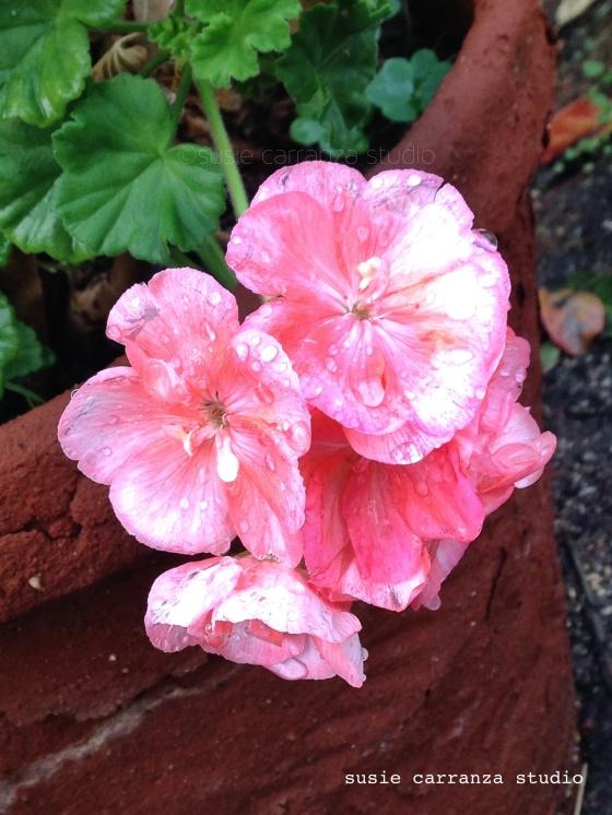 geraniums...