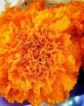 cempasuchil (flor de muertos) - susie carranza studio